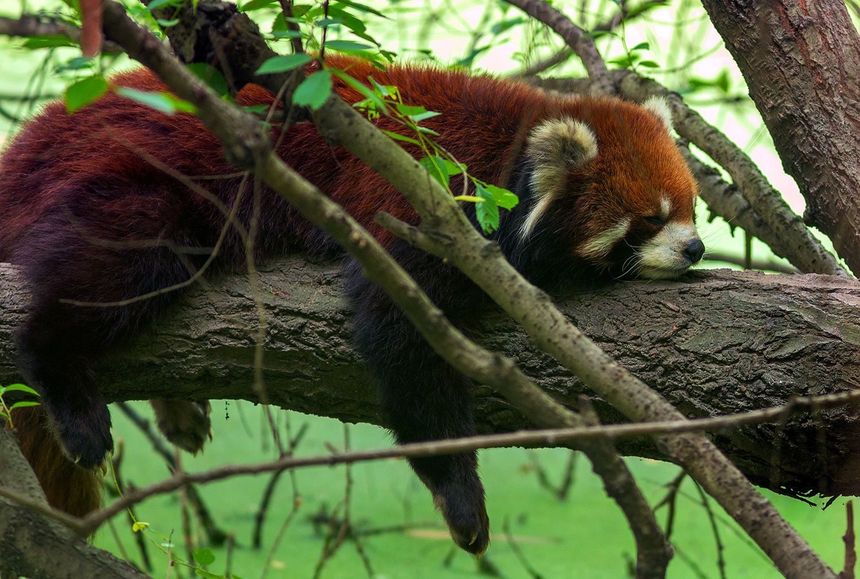 Red Panda, Chengdu, China