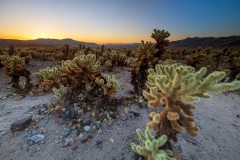 Cholla Cactus Garden - Joshua Tree National Park - California, USA