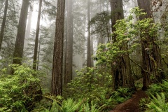 Redwood National Park - California, USA