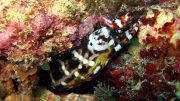 Dragon-Moray2
