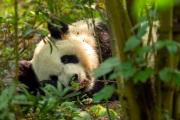 panda, Chengdu, China