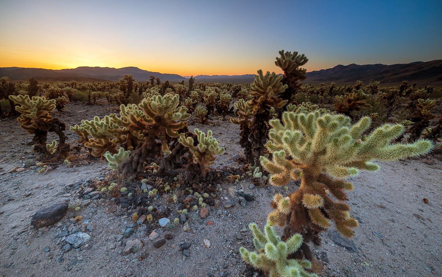 Cholla Cactus Garden - Joshua Tree National Park - California, USA