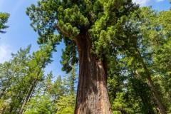 The Chandelier Tree -Leggett, California, USA
