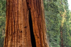 The Giant Forest - Sequoia National Park, California, USA
