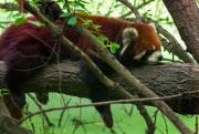 58A1047Red-Panda-sat-b